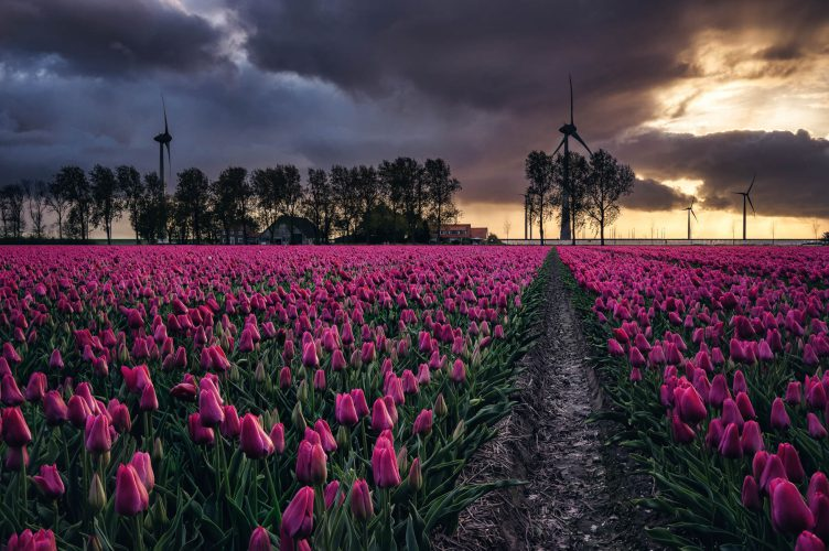 Tulpenfelder 2 bei Amsterdam, Holland