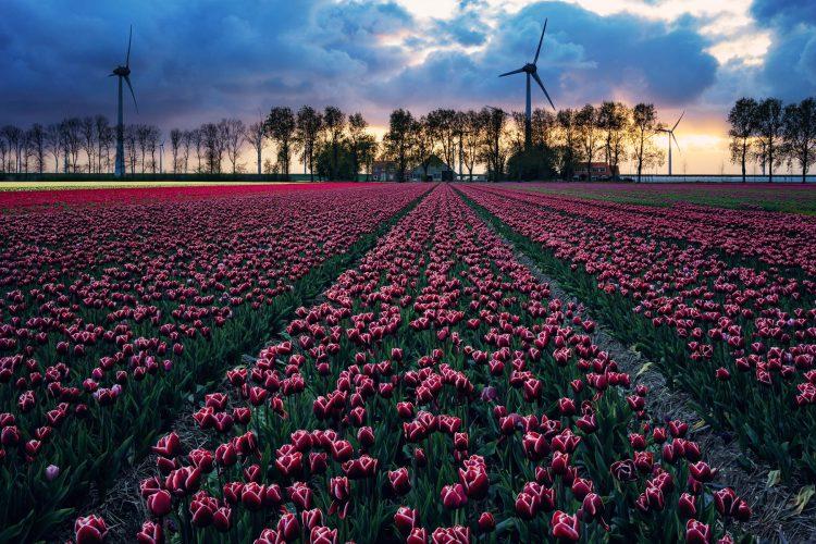 Tulpenfelder bei Amsterdam, Holland